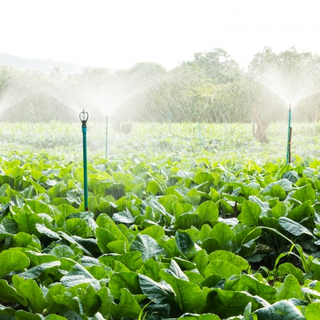 sprinkler irrigation in cauliflower field  photo