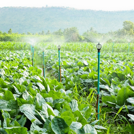 sprinkler irrigation in cauliflower field  Stock Photo