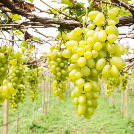 green grape on vine photo