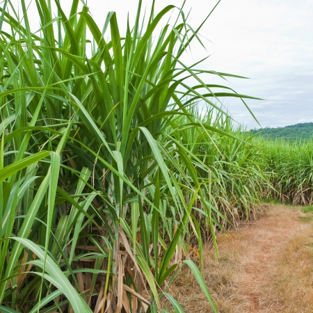 Sugarcane and road to the plant. photo