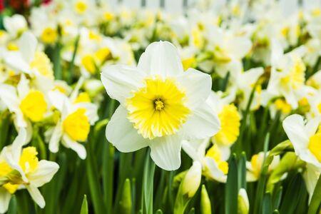 White tulips Stock Photo - 17469339