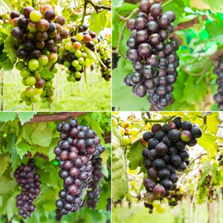 Collection of ripening grape clusters on the vine photo