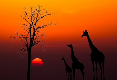 silhouettes of Giraffes and dead tree against sunset background photo