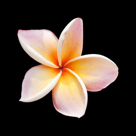 Plumeria flower isolated on black background with clipping path photo