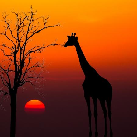 Silhouetten von Giraffen und toter Baum gegen Sonnenuntergang Hintergrund