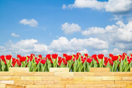 brick wall with beautiful red tulips behind and blue sky background Stock Photo - 17949094