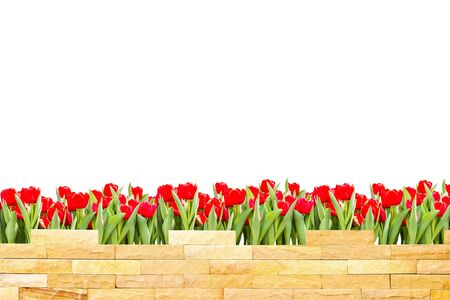 brick wall with beautiful red tulips behind and white background Stock Photo - 18210469