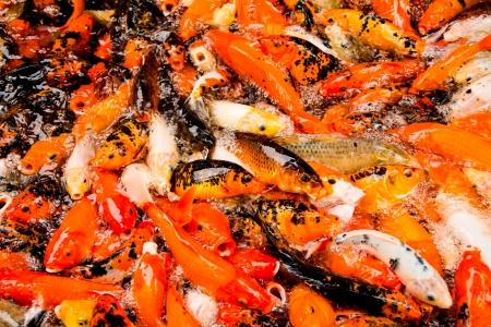 feeding frenzy: colorful carps surfaces in a feeding frenzy