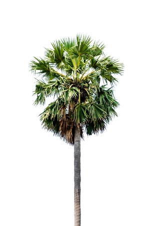 Palm tree isolated on white background  photo