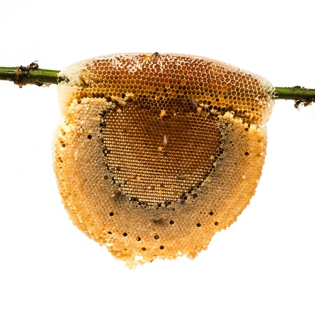 honeycomb with honey and bee on bamboo branch, isolated on white background photo