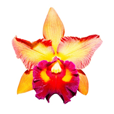 yellow orchid isolated on white background with clipping path photo