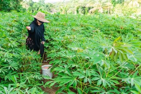 fertilizing: Farmers are fertilizing in cassava plants