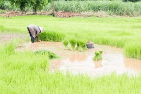 agriculturalist: Farmers removal of seedlings to planting rice,Traditional Thai style rice growth