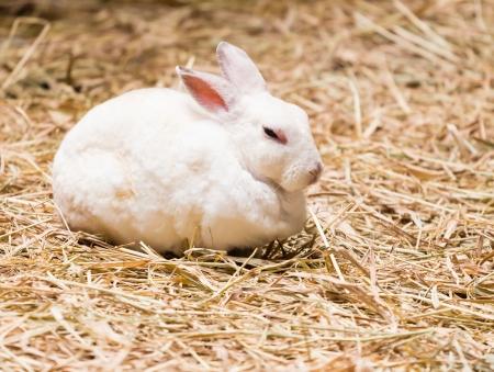 bunnie: White Rabbit on the straw
