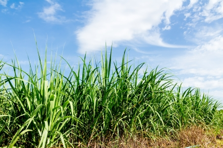 Sugarcane and blue sky background photo