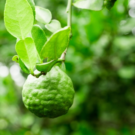 Kaffir Lime on tree