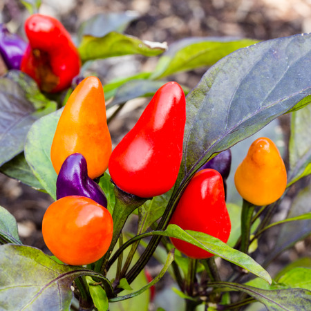 colorful chili peppers on tree photo