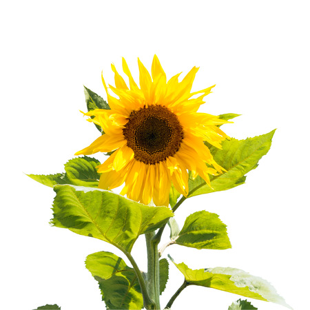 Sunflower isolated on white background with clipping path photo