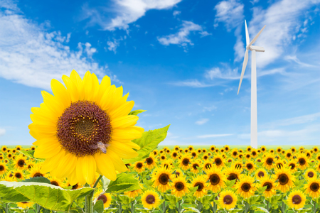 sunflowers field with wind turbine and blue sky used for green earth concept photo