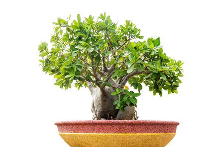 bonsai tree:  bonsai tree isolated on white  Stock Photo