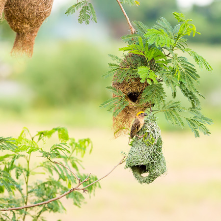 weaver bird: Baya weaver bird on nest at  branch of the tree