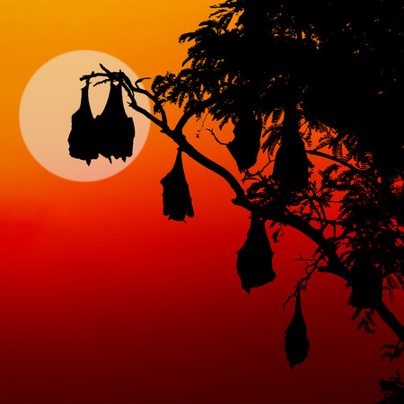 silhouetted fruit bat on tree at sunset,useful for some Halloween concept  photo