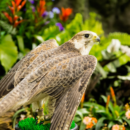 falco peregrinus:  Peregrine Falcon (Falco peregrinus) perched in the gaeden
