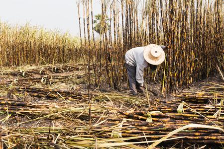 workers harvesting sugarcane in farm
