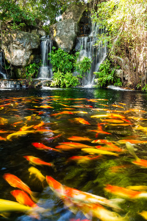 Koi fish in pond with waterfall photo