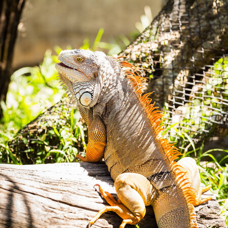 species of creeper: Close-up of Green Iguana on wood Stock Photo