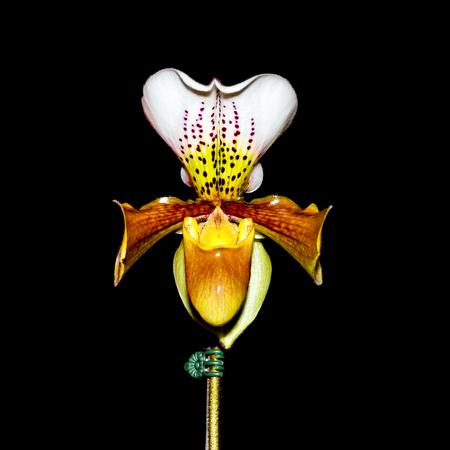 lady slipper: Lady Slipper Orchid Paphiopedilum on black background Stock Photo