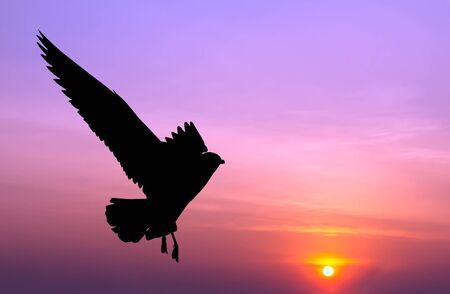 silhouetted: Silhouetted seagull flying at colorful sunset Stock Photo