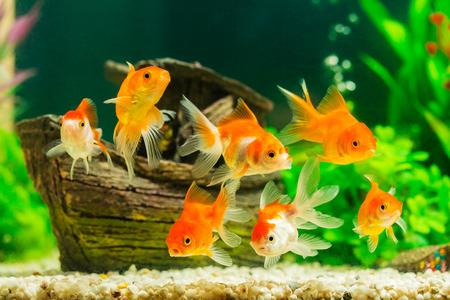 緑の植物と水槽の中の金魚 写真素材