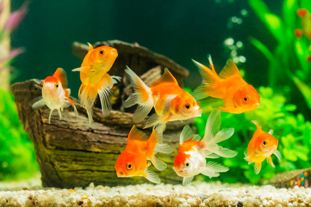 gold colour: Goldfish in aquarium with green plants Stock Photo
