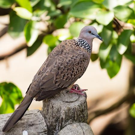 turtle dove: The turtle dove