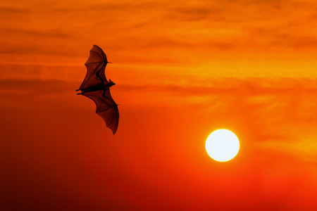 nocturnal: Bats flying at sunset
