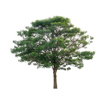 tropical evergreen forest: green tree isolated on white background