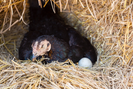 hen laying eggs in her nest