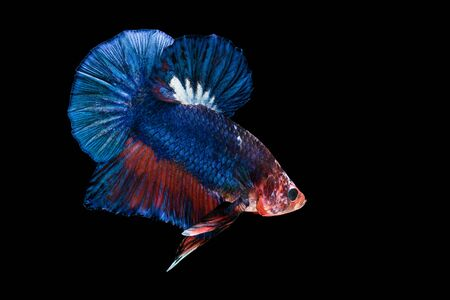 capture the moment: siamese fighting fish isolated on black background Stock Photo