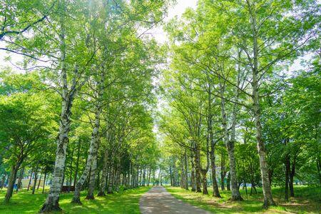 birch tree lined path in hokkaido