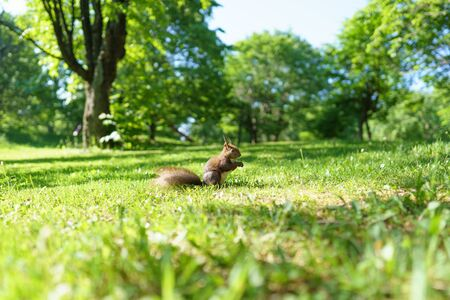 one squirrel on green grass Foto de archivo