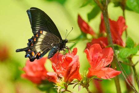Papilio maackii on red flower
