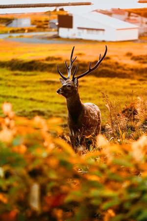 one deer in evening hokkaido