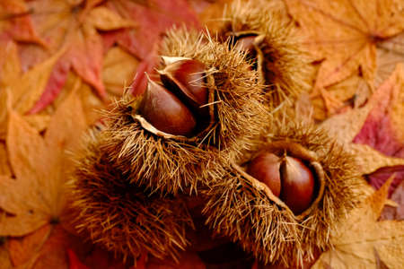 chestnut on autumn colorful leaves