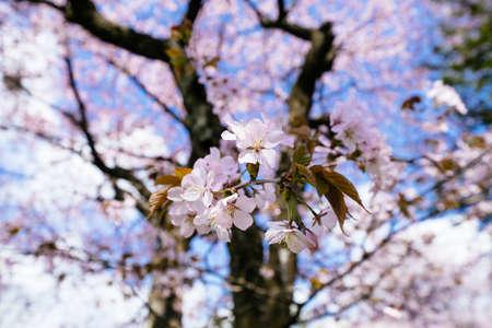 cherry blossoms in spring hokkaido