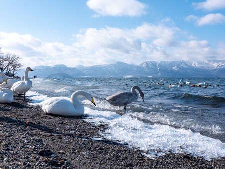 Swans of Lake Kussal detour