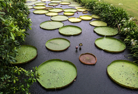 large: Giant Water Lily, Amazon Lily,Royal Water Lily floating in a pond in raining day