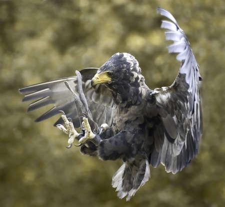 red tailed hawk: Hawk