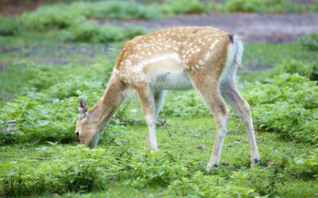 Persian Fallow Deer (Dama mesopotamica) Stock Photo - 3542287