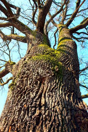 tremendous: Tremendous oak tree